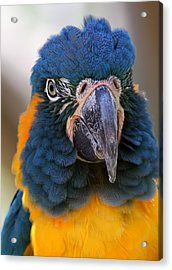 Blue-throated Macaw Close-up Acrylic Print