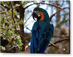 Blue Throated Macaw Acrylic Print
