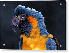 Blue-throated Macaw Profile Acrylic Print
