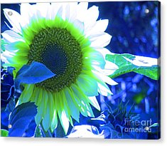 Blue Tinted Sunflower Acrylic Print