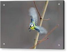 Blue Tit In Flight Acrylic Print