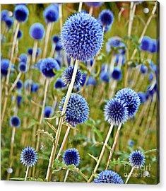 Blue Wild Thistle Acrylic Print