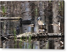 Blue Winged Teals Acrylic Print by Dave Clark