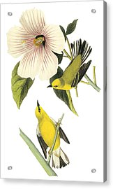 Blue-winged Warbler Acrylic Print