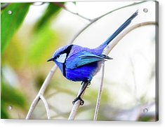 Acrylic Print featuring the photograph Blue Wren, Margaret River by Dave Catley