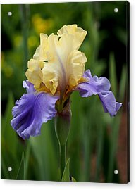 Blue Yellow Iris Germanica Acrylic Print by Rona Black