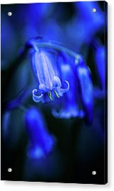 Bluebell Close-up 3 Acrylic Print