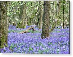Bluebell Wood - Hyacinthoides Non-scripta - Surrey , England Acrylic Print