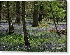 Bluebell Woods Acrylic Print by Catja Pafort