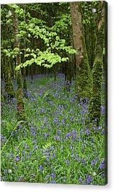 Bluebell Woods Acrylic Print by Martina Fagan