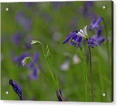 Bluebells And Stitchwort  Acrylic Print