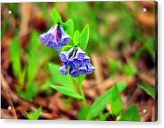 Bluebells Acrylic Print by C E McConnell