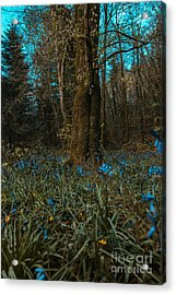 Bluebells In Lismore Forest 2 Acrylic Print