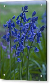 Bluebells Acrylic Print by Rob Hemphill