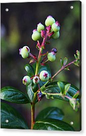 Blueberries Acrylic Print by Kerri Ligatich