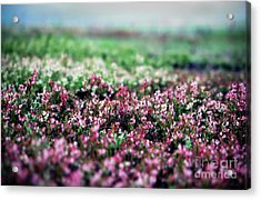 Acrylic Print featuring the photograph Blueberry Blossoms  by Alana Ranney