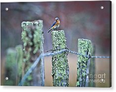 Bluebird 040517 Acrylic Print by Douglas Stucky