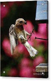 Acrylic Print featuring the photograph Bluebird 0726162 by Douglas Stucky