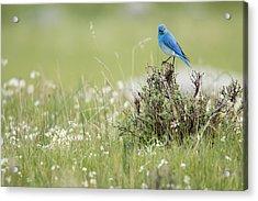 Bluebird Acrylic Print by Andrew Wells