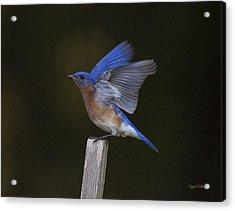 Bluebird  Acrylic Print by Angel Cher