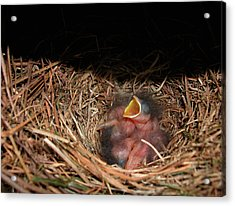 Acrylic Print featuring the photograph Bluebird Babies by Marie Hicks