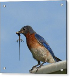 Acrylic Print featuring the photograph Bluebird Bringing Home Lunch by Jeanne Kay Juhos