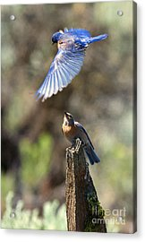 Bluebird Buzz Acrylic Print by Mike Dawson