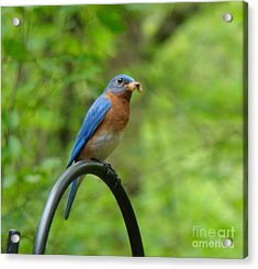 Acrylic Print featuring the photograph Bluebird Catches Worm by Rand Herron