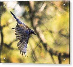 Western Bluebird Acrylic Print