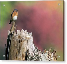 Bluebird Fall Perch Acrylic Print
