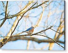 Bluebird In Tree Acrylic Print