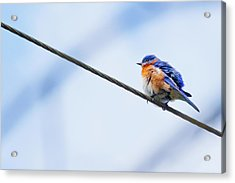 Acrylic Print featuring the photograph Bluebird Of Happiness by Linda Unger