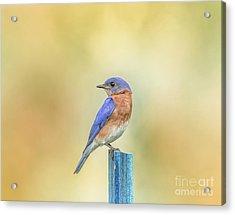 Bluebird On Blue Stick Acrylic Print by Robert Frederick