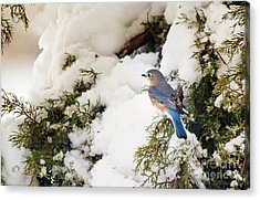 Acrylic Print featuring the photograph Bluebird On Snow-laden Cedar by Robert Frederick