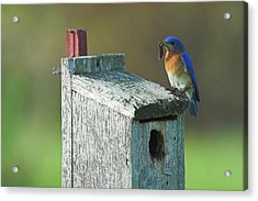 Acrylic Print featuring the photograph Bluebird by Steve Stuller