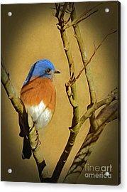 Bluebird Waiting For Spring Acrylic Print
