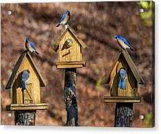 Acrylic Print featuring the photograph Bluebirds by Claudia Abbott