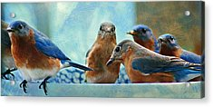 Bluebirds Acrylic Print