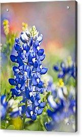 Bluebonnet 1 Acrylic Print
