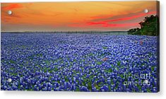 Bluebonnet Sunset Vista - Texas Landscape Acrylic Print by Jon Holiday