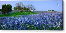 Bluebonnet Vista - Texas Bluebonnet Wildflowers Landscape Flowers  Acrylic Print by Jon Holiday