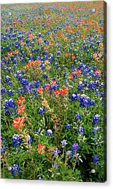 Bluebonnets And Paintbrushes 3 - Texas Acrylic Print by Brian Harig