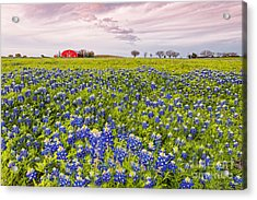 Bluebonnets And Red Barn In Washington County - Chappell Hill - Brenham - Texas Acrylic Print