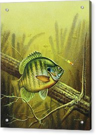 Bluegill And Jig Acrylic Print by JQ Licensing