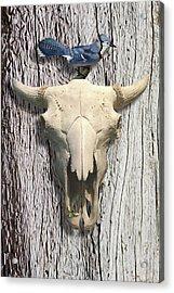 Bluejay And The Buffalo Skull Acrylic Print