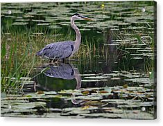 Blue's Image- Great Blue Heron Acrylic Print