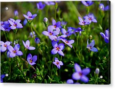 Acrylic Print featuring the photograph Bluets by Kathryn Meyer
