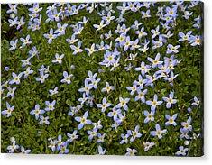 Bluets Acrylic Print