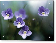 Bluettes Acrylic Print by Laurie Paci