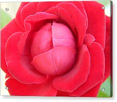 Blush Lettuce Rose Acrylic Print